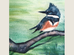 detail Belted Kingfisher perched on evergreen branch with green refection behind